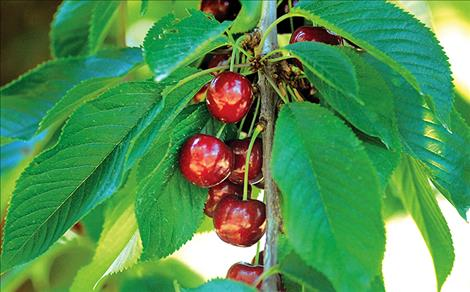 Lapin cherries are the mainstay of Flathead crops.