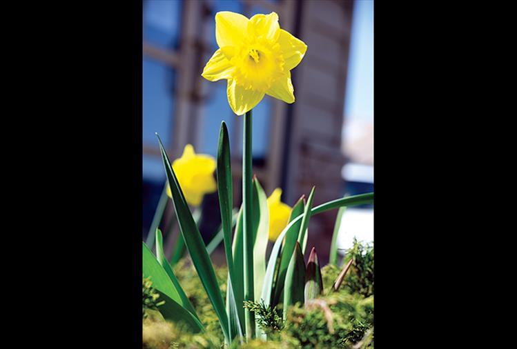 At last: After a long, white winter, spring daffodils bring color back to our area.