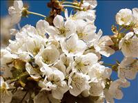 Yellow Bay Cherry Blossom Festival is May 18