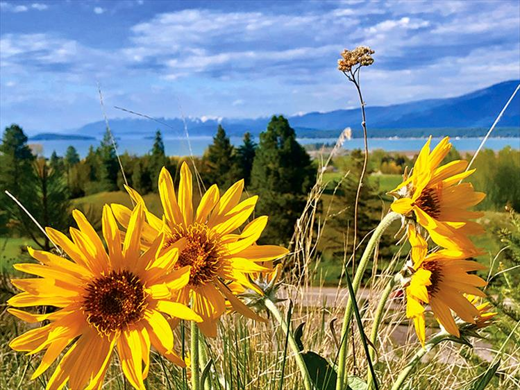 Arrowleaf Balsamroot, a member of the sunflower family, blooms along the bicycle path in Polson.