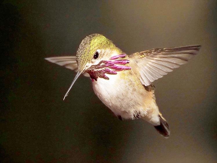 Winged wonder: A male Calliope hummingbird is captured on camera in mid flight. Magenta rays on a male's throat are a distinctive feature of a Calliope. According to the National Audubon Society, this is the smallest bird in North America, measuring about three inches long and weighing about one-tenth of an ounce.