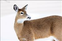 Libby whitetail tests positive for Chronic Wasting Disease