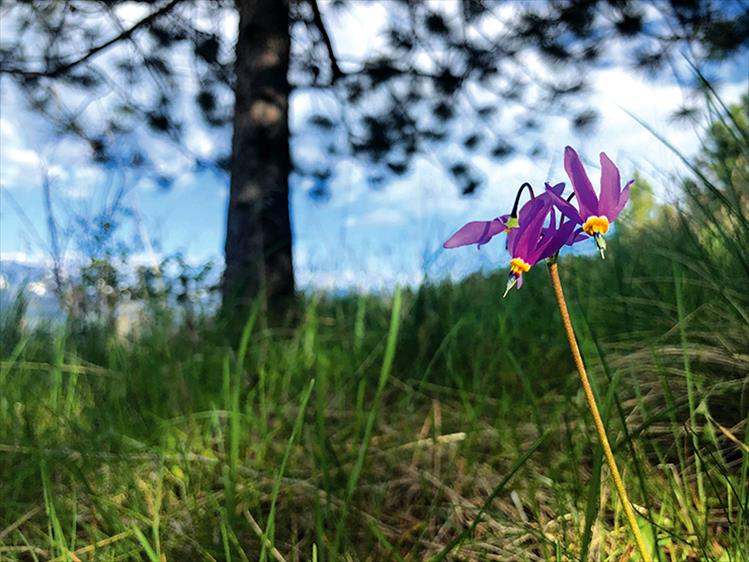 Purple pride: A wild shooting star flower stands boldly in a sea of green grass.