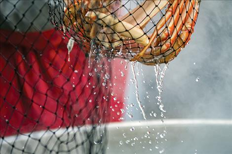 Dripping from a net, freshly cooked crab gets moved to buckets of ice.