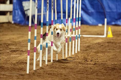 Tickle races through the poles during last weekend's dog agility competition in Polson.