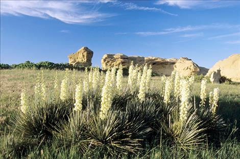 Beargrass and yucca: two signature Montana plants