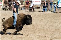 Bison take riders for a spin  during rodeo