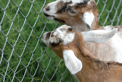 The grass is greener beyond a fence for two goats at the fair.