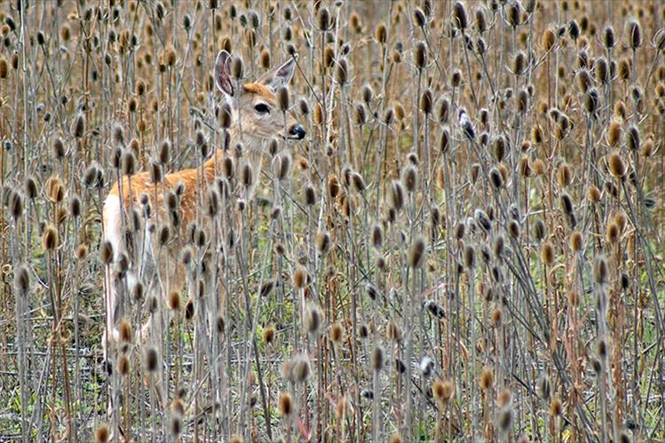 Spotted - A field of teasel provides good cover for a spotted fawn.