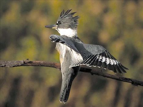 A female belted kingfisher searches for trout.