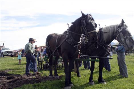 A draw horse team stands ready to plow.