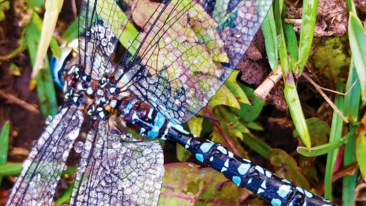 A closer look: A dragonfly's wings glimmer in the morning dew, appearing as if frosted stained glass.
