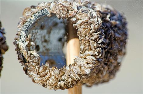 Damaging invasive mussels obliterate a pipe used to demonstrate their tenacity and potential danger to Flathead Lake.