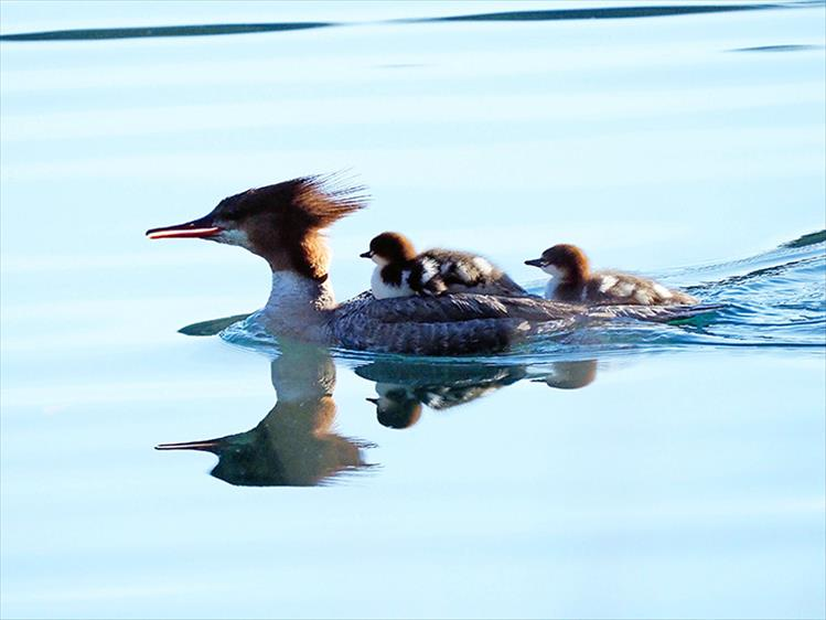 Common Merganser chicks