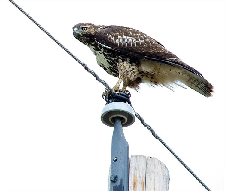 Hawk eye: A juvenile red-tailed hawk searches for a bite to eat from his perch atop a power pole.