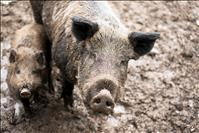 Invasive feral swine pose potential disaster in Montana