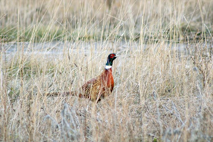 Camera ready: Dressed in dramatic colors, the ring-necked pheasant measures approximately three feet in length with its tail taking up half that measure.