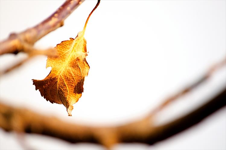 Almost gone: A fall leaf hangs on in St. Ignatius before winter sets in.