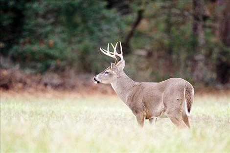 Chronic wasting disease has spread throughout the state faster than wildlife officials had expected. Of the 142 deer, elk and moose that tested positive, 86 were white-tailed deer, like the buck pictured above.