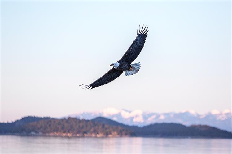 Evening flight: A bald eagle glides effortlessly over Polson Bay on a recent winter evening.