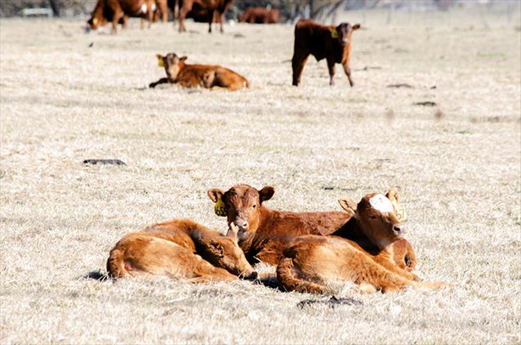 Signs of spring: With spring approaching, baby calves are popping up regularly in Mission Valley pastures.