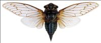 What's this buzz about cicadas?