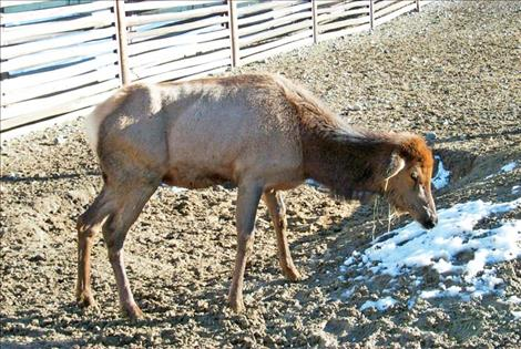 An elk in Wyoming tests positive for Chronic Wasting Disease.