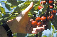 Cherry growers prepare for solid harvest, cherry festival