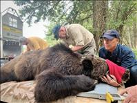 Bears seek food sources with arrival of fall