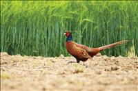Pheasants Forever cancels banquet, continues work
