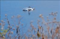 Tribal Wildlife Biologists request information on nesting Trumpeter Swans