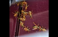 Yellow jacket populations more aggressive this summer